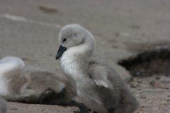 Ducks in St Albans